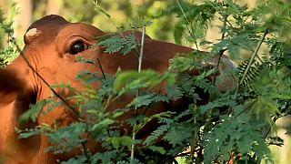 Estas vacas fazem bem ao ambiente