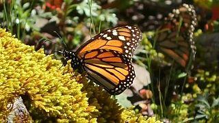 Santuários de borboletas-monarcas no México