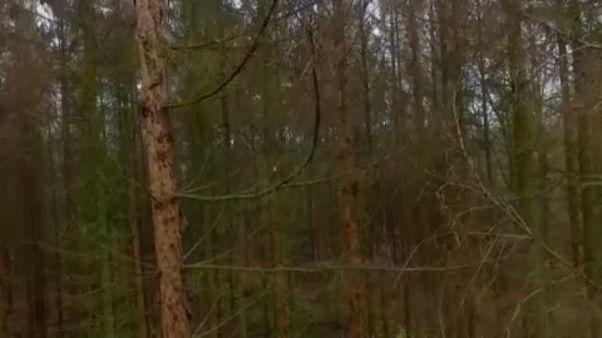 La lenta agonía de los bosques alemanes por la sequía, las plagas y el cambio climático