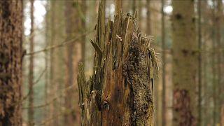 Waldsterben in Deutschland - Klimawandel macht sich bemerkbar