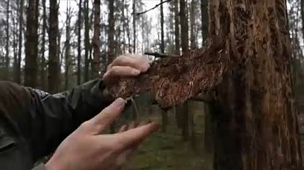 Haldokolnak a német erdők