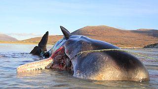 Der Pottwal verendete am Strand der schottischen Insel Harris
