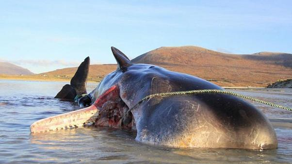 The whale was found with a mountain of trash in its stomach