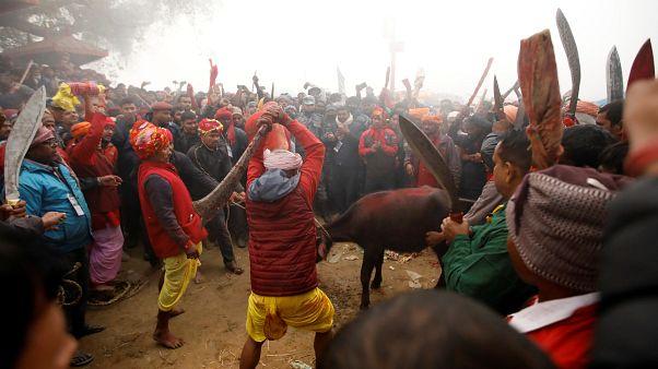 Nepal'de festival: 200 bin keçi, fare, tavuk, domuz ve kumru 'kurban' ediliyor
