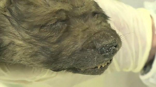 Dogor, il cucciolo ritrovato in Siberia, ha 18mila anni anni e non li dimostra