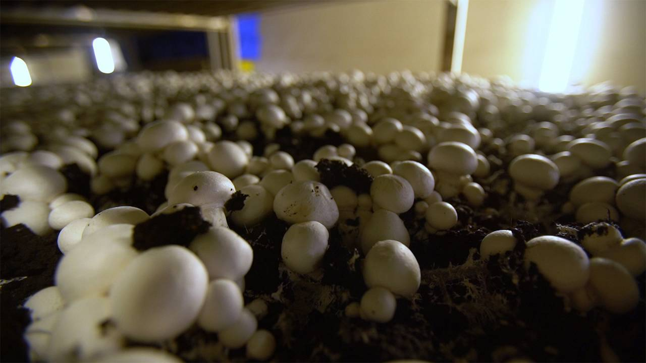 Scientists unearth the secrets of mushroom compost