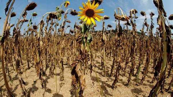 FILE PHOTO: A sunflower blooms in between dried-out ones during unusually hot summer weather near the village of Benken, Switzerland, August 6, 2018. Picture taken with a fish