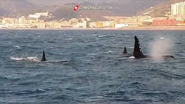 شاهد: منظر نادر للحوت القاتل يسبح قرب الشاطئ الإيطالي