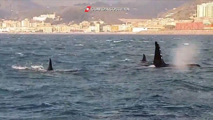 Wundersam: 4 Orcas tummeln sich vor Genua