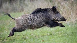 Wildschwein im Taunus