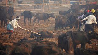 فيديو: التضحية بآلاف الحيوانات في مهرجان هندوسي تثير سخطاً كبيراً