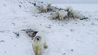 Russian village dealing with 'polar bear invasion' as dozens of animals go in search of food