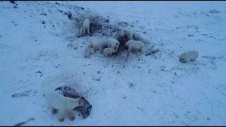 Белые медведи не могут уйти на охоту