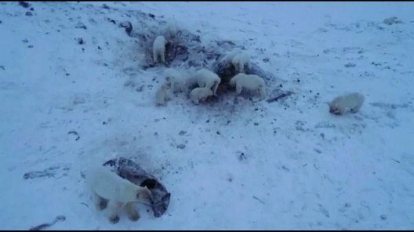 Eisbären-Alarm in Russland: 50 hungrige Tiere machen Dorf unsicher