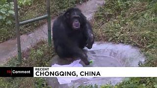 Bakıcılarını taklit eden şempanze Yuhui çamaşırları elde yıkıyor