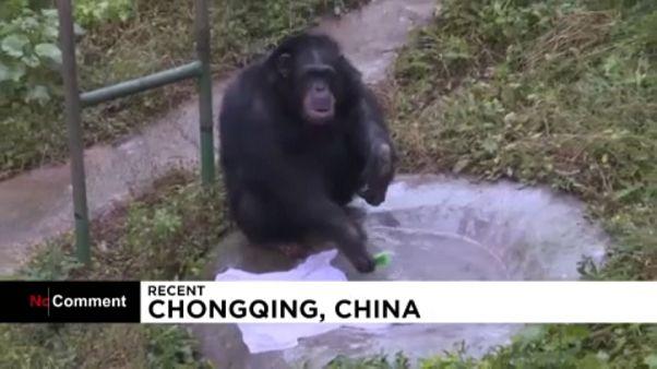 Mosodát nyitott egy csimpánz Kínában