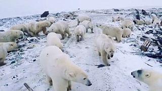 Buzullar oluşmayınca kutup ayıları yiyecek bulmak için köylere indi