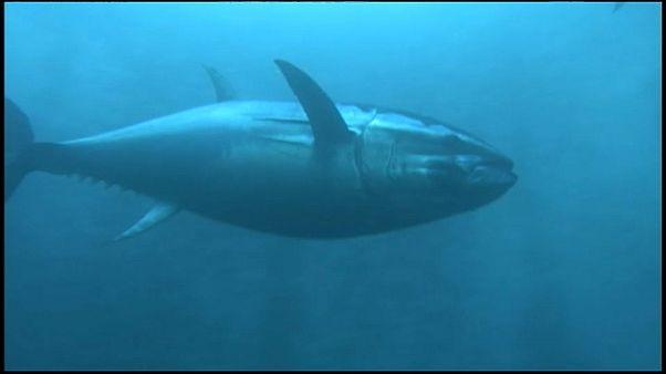 Fisch in Gefahr: Immer weniger Sauerstoff im Meer