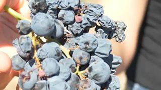 Új korszakot nyit a borászatban a klímaváltozás