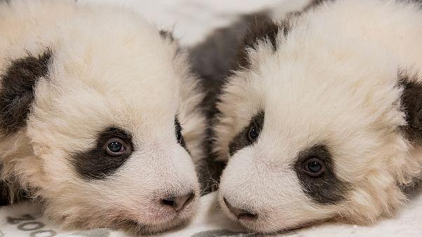Berliner Pandas sind 100 Tage alt und: Es sind zwei Jungs!