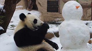 Ehető hóembert kapott a moszkvai panda
