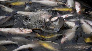 Kifogott halak a Hortobágyi Halgazdaság Zrt. balmazújvárosi tóegységénél 2019. november 28-án. Magyar halat a nagyobb áruházakban és a piacokon is mindenütt lehet kapni