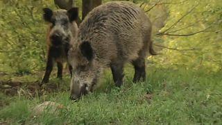 Schweinepest: Schießt die polnische Armee künftig Wildschweine ab?