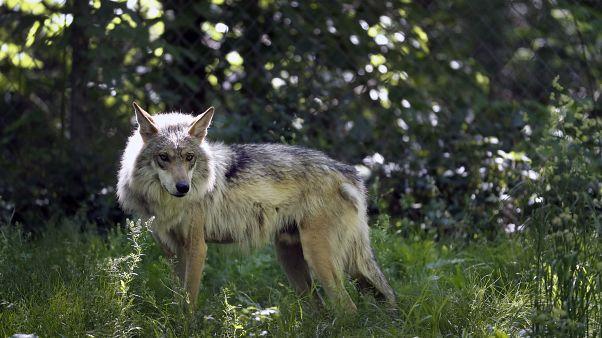 باغ وحش نیومکزیکو از گرگهای خاکستری مکزیکی در معرض انقراض مراقبت میکند