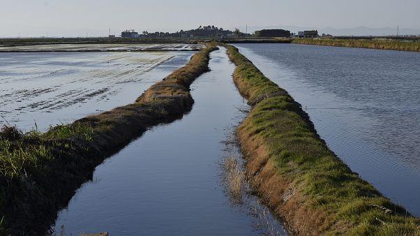 Rice fields in Sueca, Valencia.