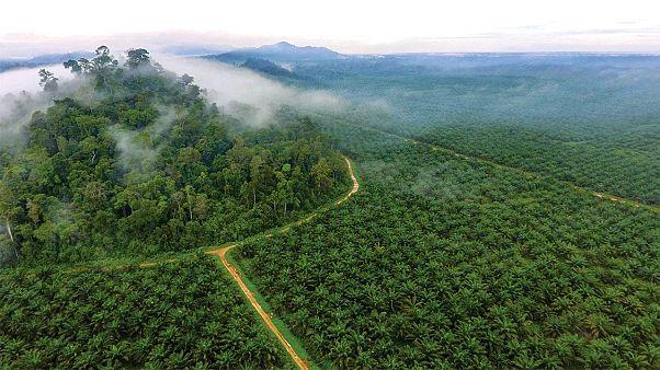 Palm tarlalarına çevrilen doğal orman alanlarından geriye kalan bir küçük bir bölge