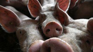 Angst vor der Schweinepest - Mecklenburg-Vorpommern in Sorge