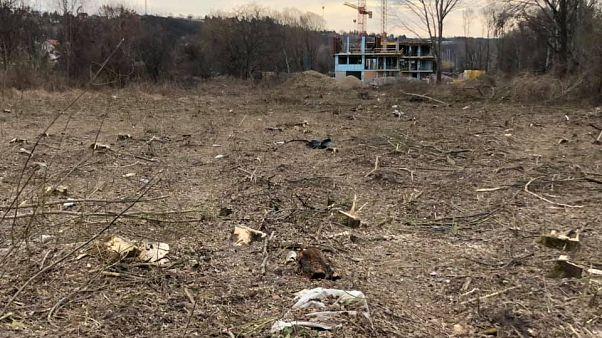 Büntetlenül vágták ki a védett balatoni erdőt
