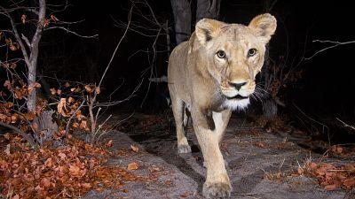 Female lion (Panthera leo) in the Zambezi Region of Namibia