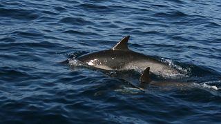 دلفين صغير وآخر بالغ قبالة الشواطئ الكاليفورنية