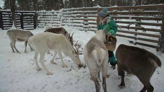 Lappland: Klimawandel macht Rentierzüchtern zu schaffen