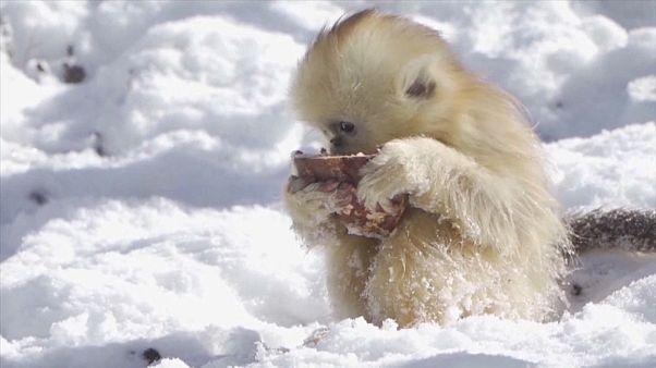 شاهد: حيوانات جبال الصين يستمتعون بموسم الثلوج