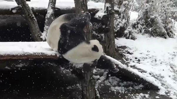 بارش برف در پارک ملی شنونگجیا در چین حیوانات را هیجان زده کرد