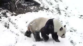 Legalább a pandáknak lesz idén fehér karácsonyuk