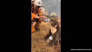 Incendies en Australie : un koala secouru par les pompiers