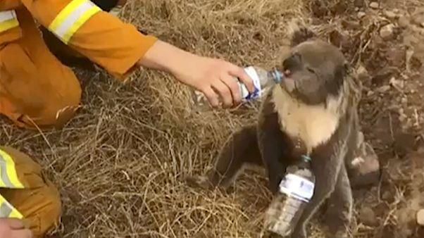 Αυστραλία: Πυροσβέστες διέσωσαν κοάλα από δέντρα που απειλούνταν από τις φλόγες