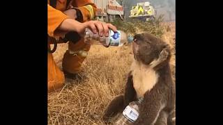 Watch: Thirsty koala gets a drink of water as wildfires rage