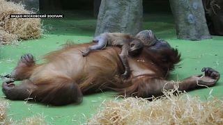Seltener Sumatra-Orang-Utan geboren