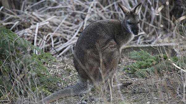 Un wallaby bicolore photographié le 18 août 2016 dans la réserve de Wombeyan Karst, située au sud-ouest de Sydney en Australie.
