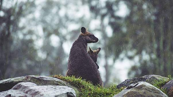 File photo of a Wallaby with its joey