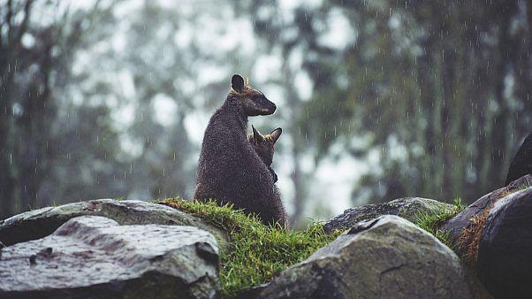 Weihnachtsschmaus? Wolf frisst offenbar junges Känguru