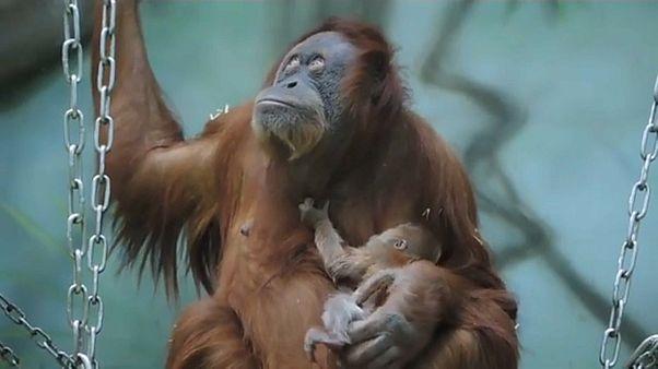 El nuevo bebé orangután del zoológico de Moscú