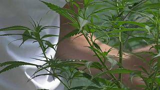 Piantine di cannabis di un privato