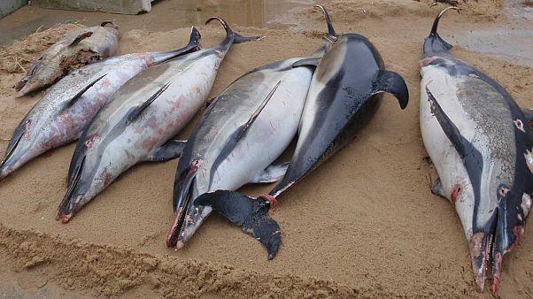 Carcasses de dauphins communs évacuées des plages de Vendée