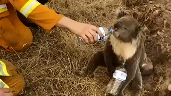 A koala drinks water from a bottle given by a firefighter in Cudlee Creek, South Australia.