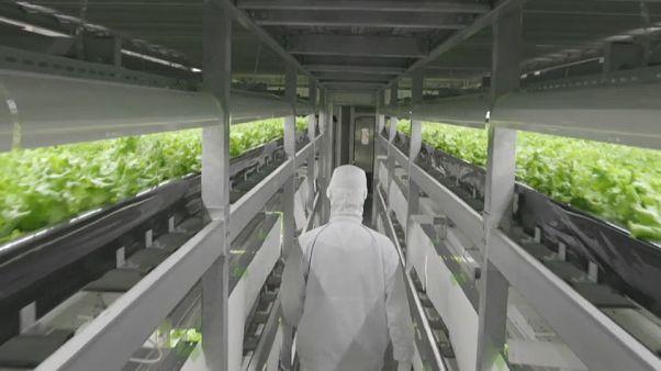 """Le """"fabbriche di verdure"""" giapponesi, dove le stagioni non contano"""